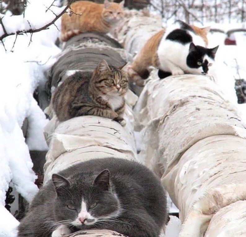 Уникальное фото: коты зимой греют трубы, чтобы у …